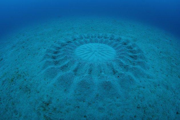 アマミホシゾラフグの巣はミステリーサークル?新種トップ10となった魚の求婚とは?