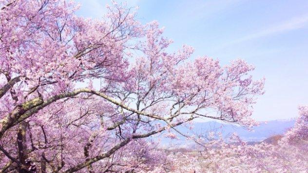 福岡県の桜名所で庭園神社や城跡があるのはどこ?歴史や風情も楽しもう!